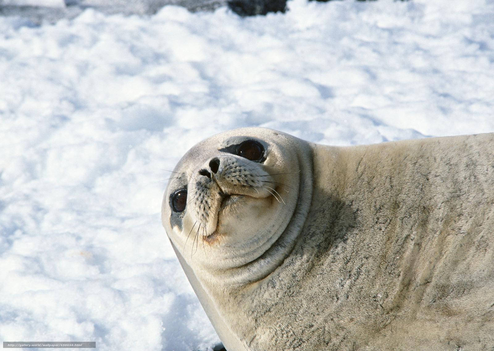 Скачать обои морской котик,  животные,  Антарктида,  снег бесплатно для рабочего стола в разрешении 2950x2094 — картинка №650698