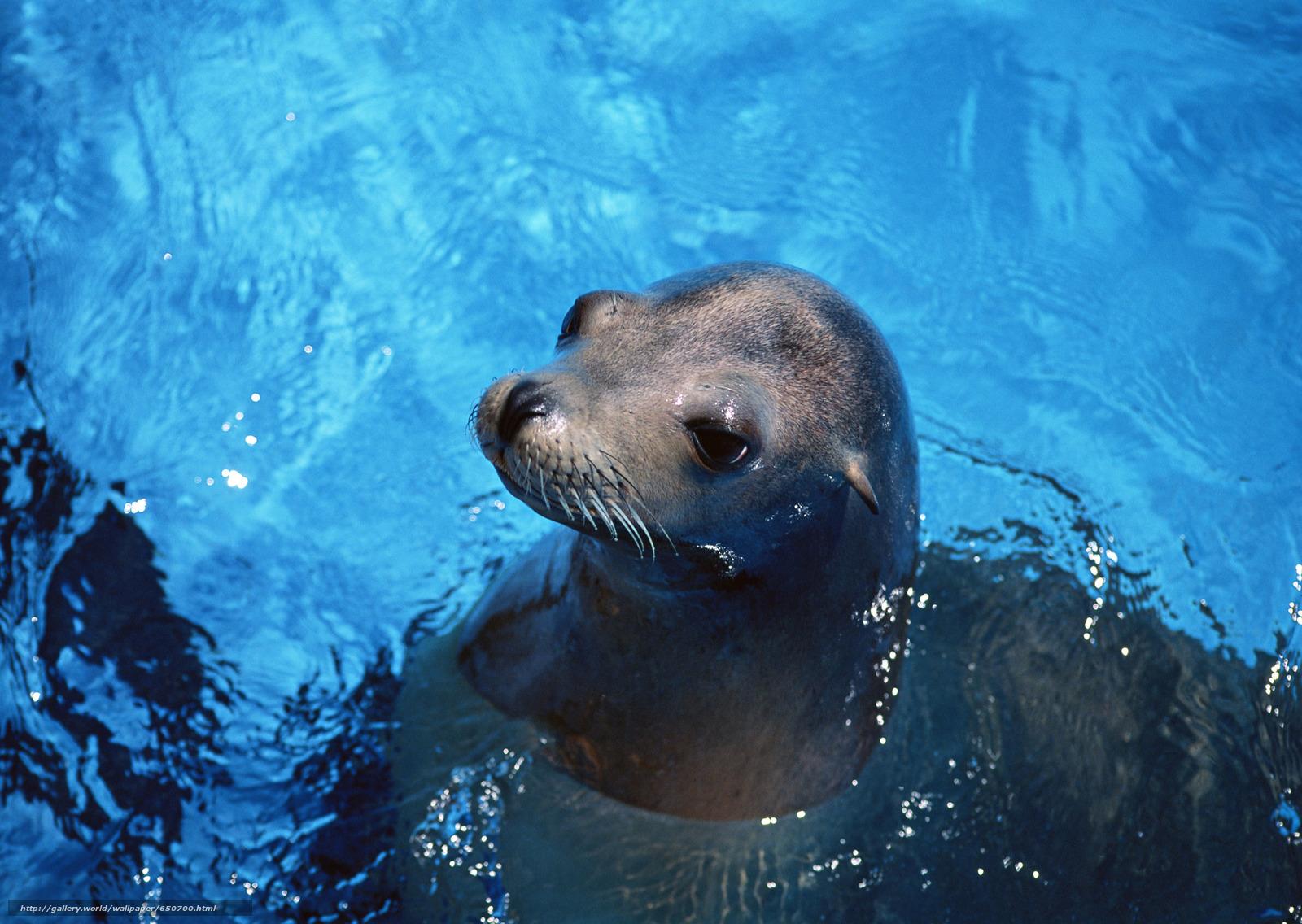 Скачать обои морской котик,  животные,  Антарктида,  купание бесплатно для рабочего стола в разрешении 2950x2094 — картинка №650700