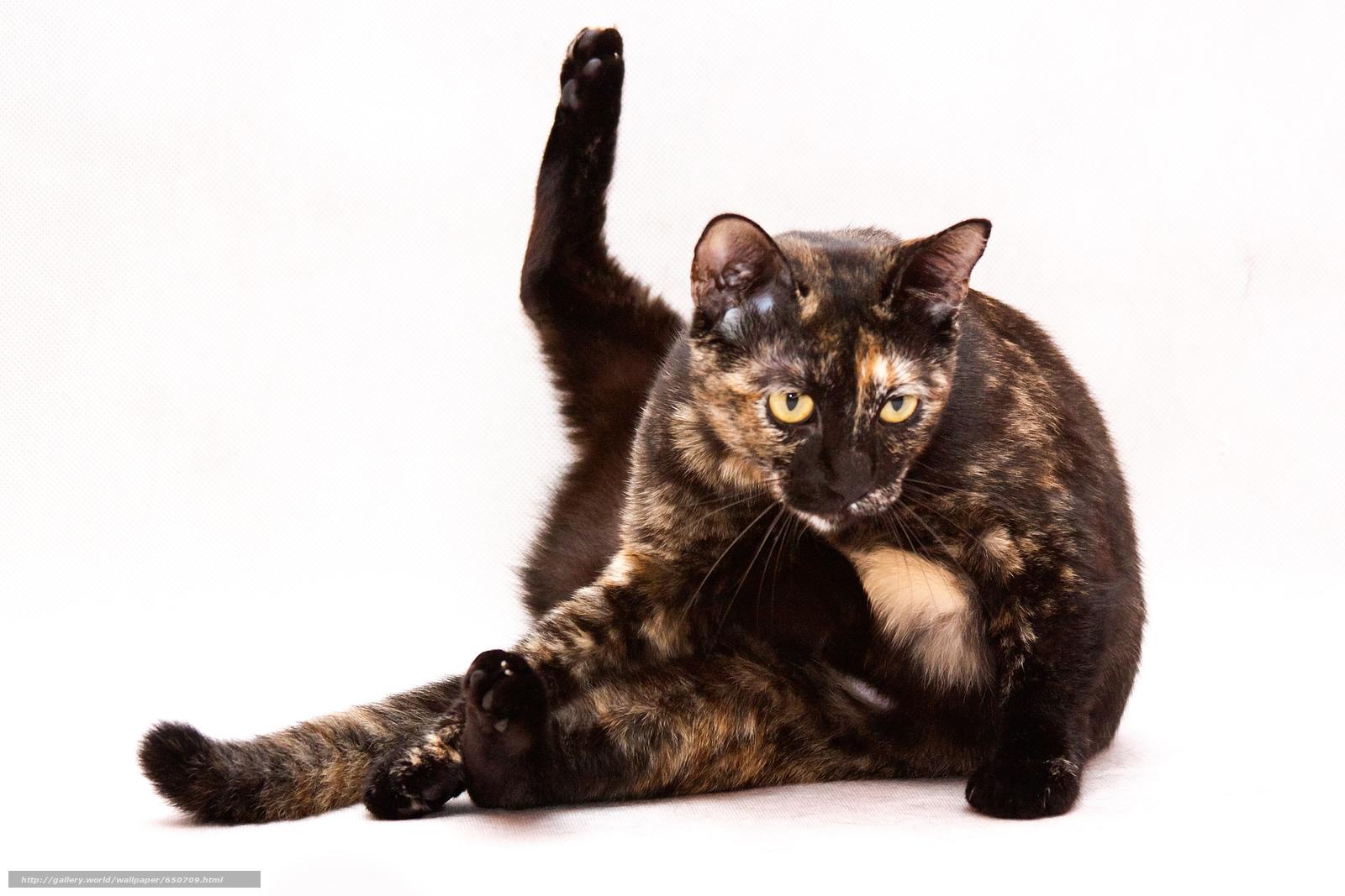 Descargar gratis COTE,  gato,  gato,  fondo Fondos de escritorio en la resolucin 2500x1667 — imagen №650709
