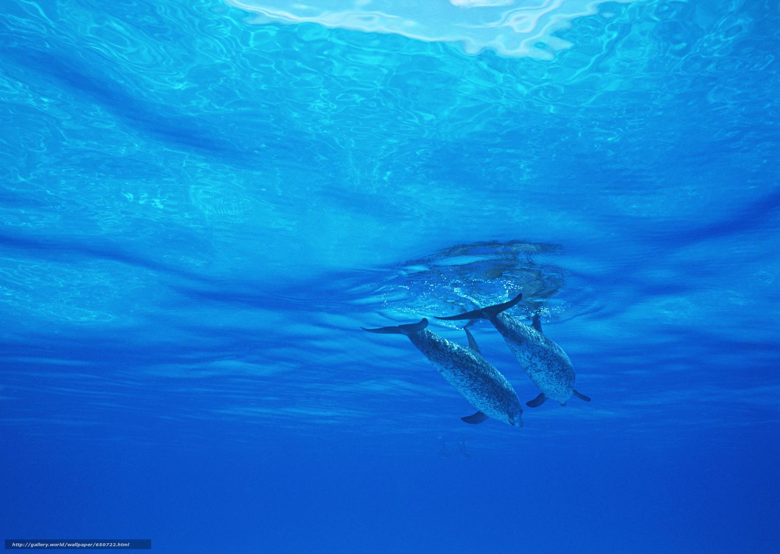 pobra tapety delfin,  Delfiny,  morze,  Ssaki Darmowe tapety na pulpit rozdzielczoci 2950x2094 — zdjcie №650722