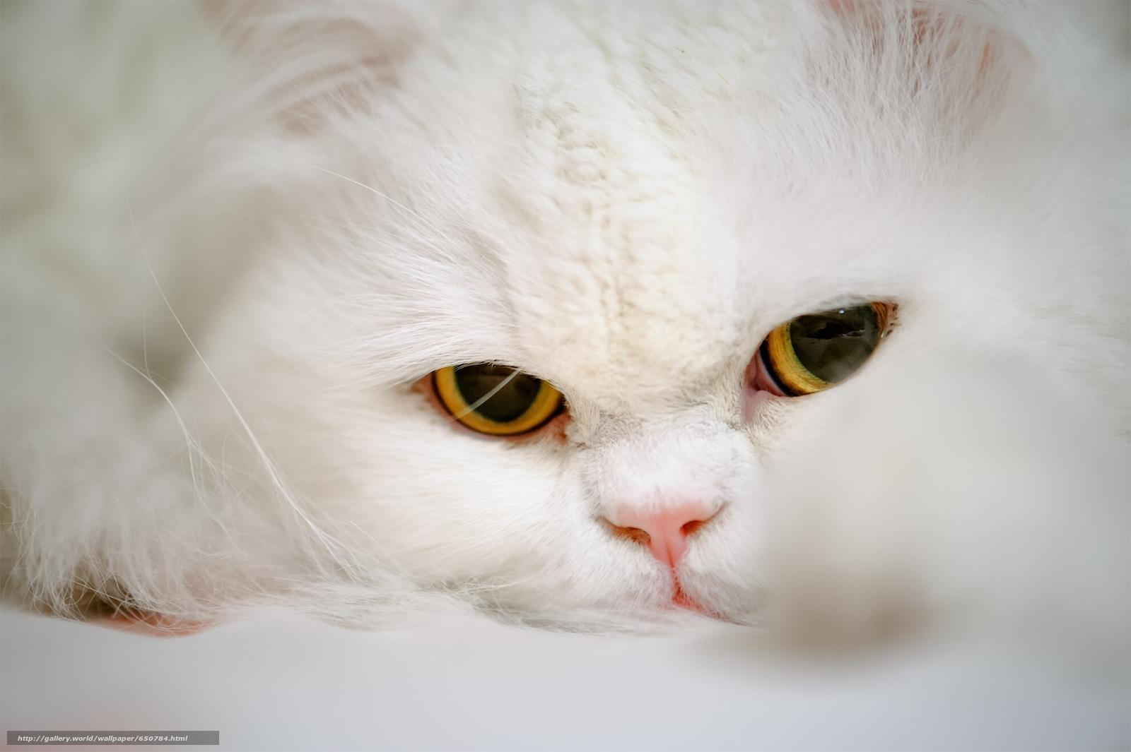 scaricare gli sfondi Persiano,  coh,  gatto,  museruola Sfondi gratis per la risoluzione del desktop 1980x1318 — immagine №650784