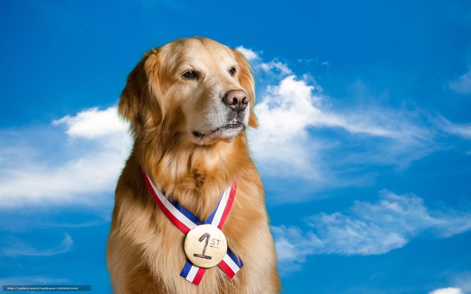 Скачать обои Лабрадор,  красивая собака,  собаки,  прикольная собака бесплатно для рабочего стола в разрешении 4928x3080 — картинка №650848
