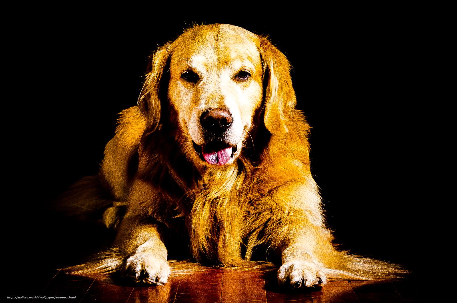 Скачать обои Лабрадор, красивая собака, собаки, прикольная ...