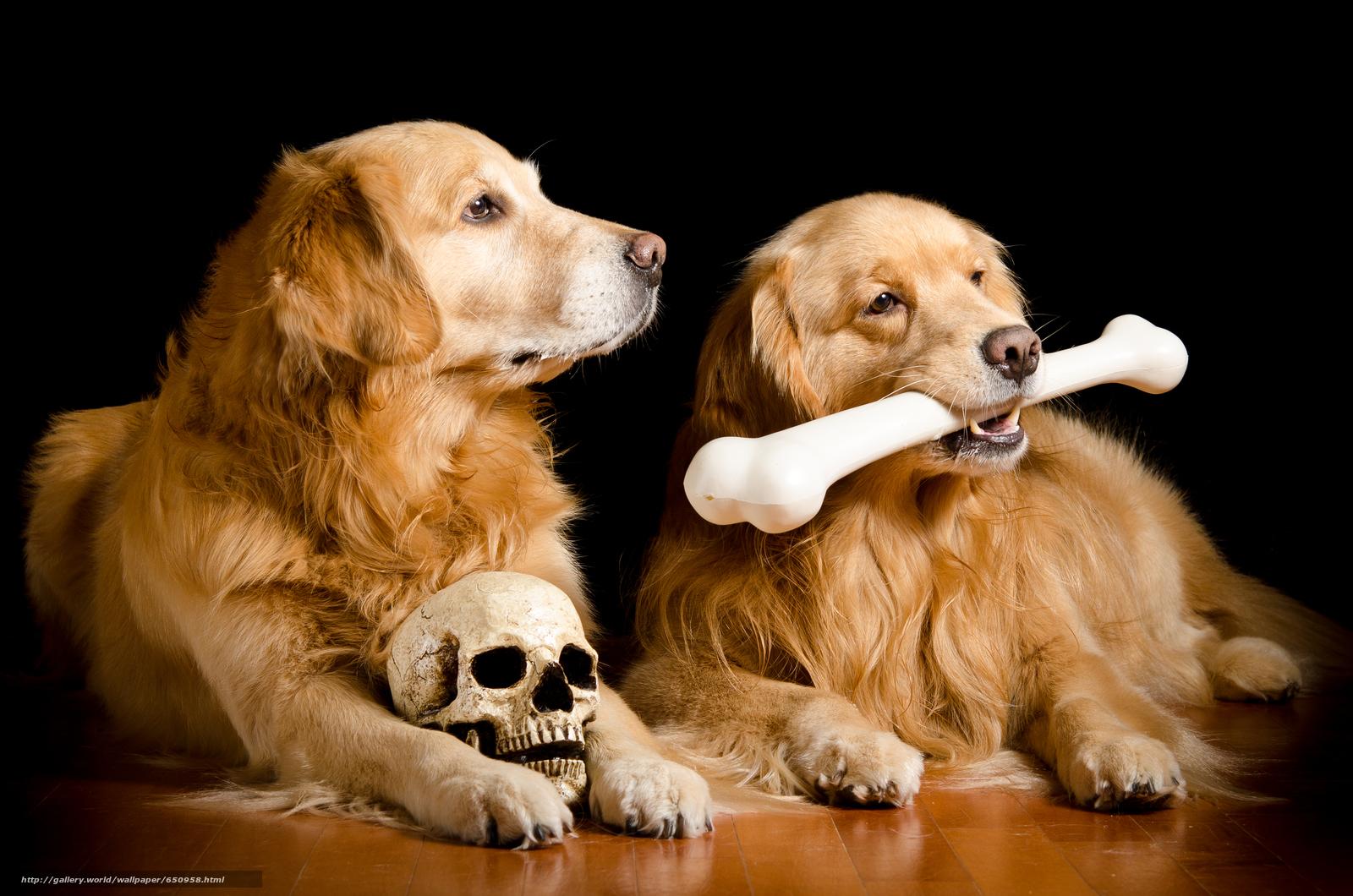 tlcharger fond d 39 ecran labrador beau chien chien dr le de chien fonds d 39 ecran gratuits pour. Black Bedroom Furniture Sets. Home Design Ideas