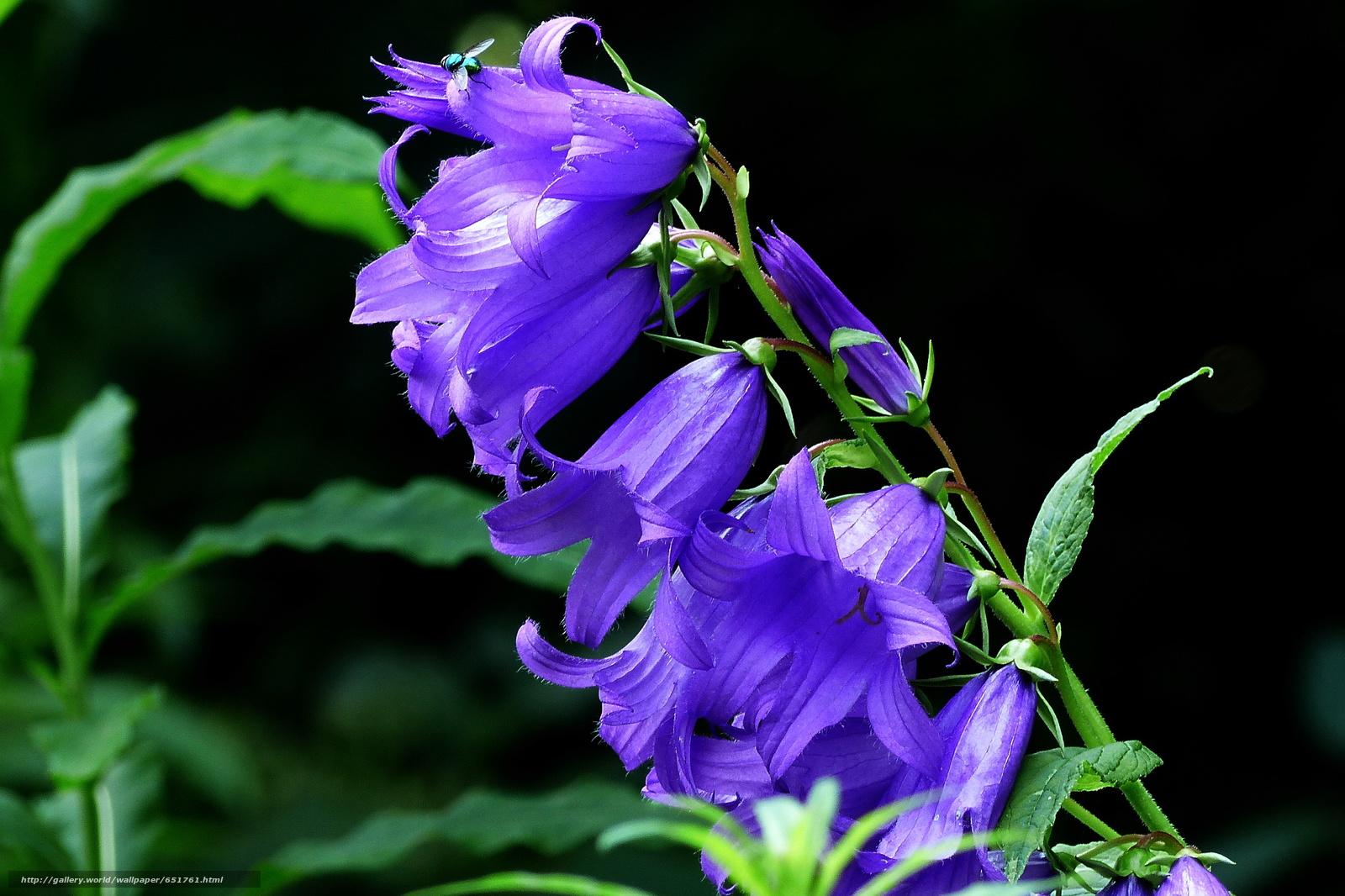 Скачать обои колокольчики,  цветы,  флора бесплатно для рабочего стола в разрешении 2048x1365 — картинка №651761