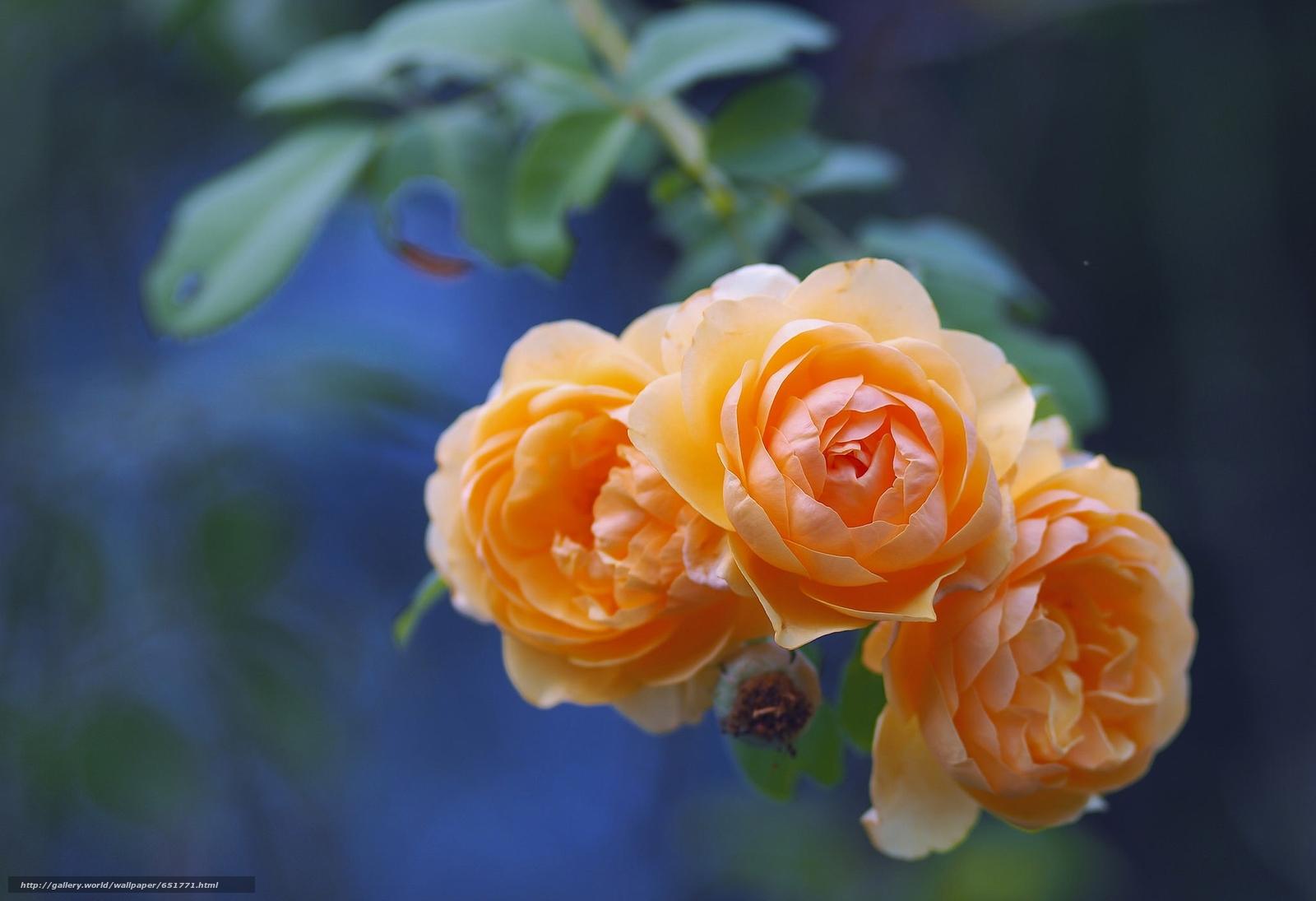 Скачать обои розы,  бутоны,  ветка,  боке бесплатно для рабочего стола в разрешении 2048x1402 — картинка №651771