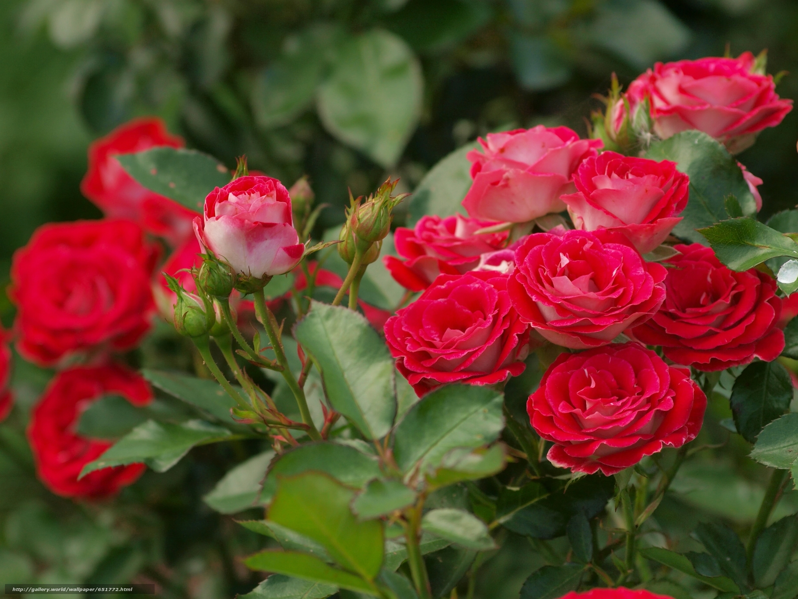 Tlcharger Fond d'ecran rosier,  rose,  Roses,  EUDB Fonds d'ecran gratuits pour votre rsolution du bureau 3648x2736 — image №651772