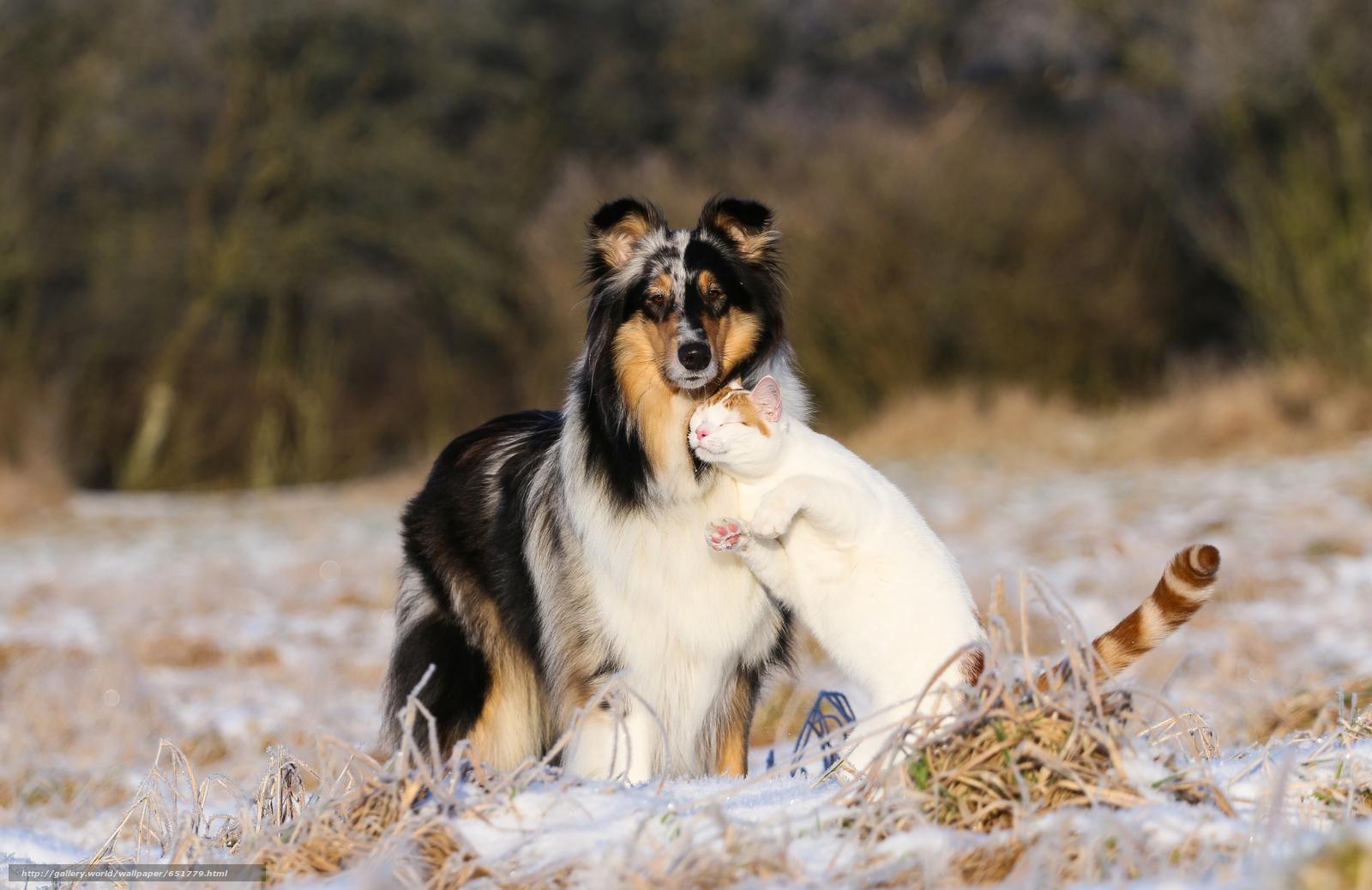 scaricare gli sfondi Collie,  cane,  COTE,  gatto Sfondi gratis per la risoluzione del desktop 5279x3424 — immagine №651779