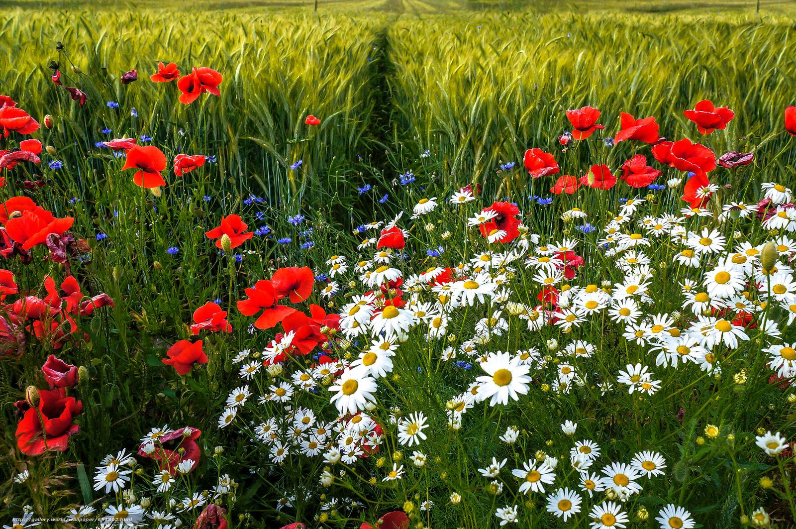 Download Hintergrund Feld,  Kamille,  Mohnblumen,  Blumen Freie desktop Tapeten in der Auflosung 2048x1361 — bild №651802