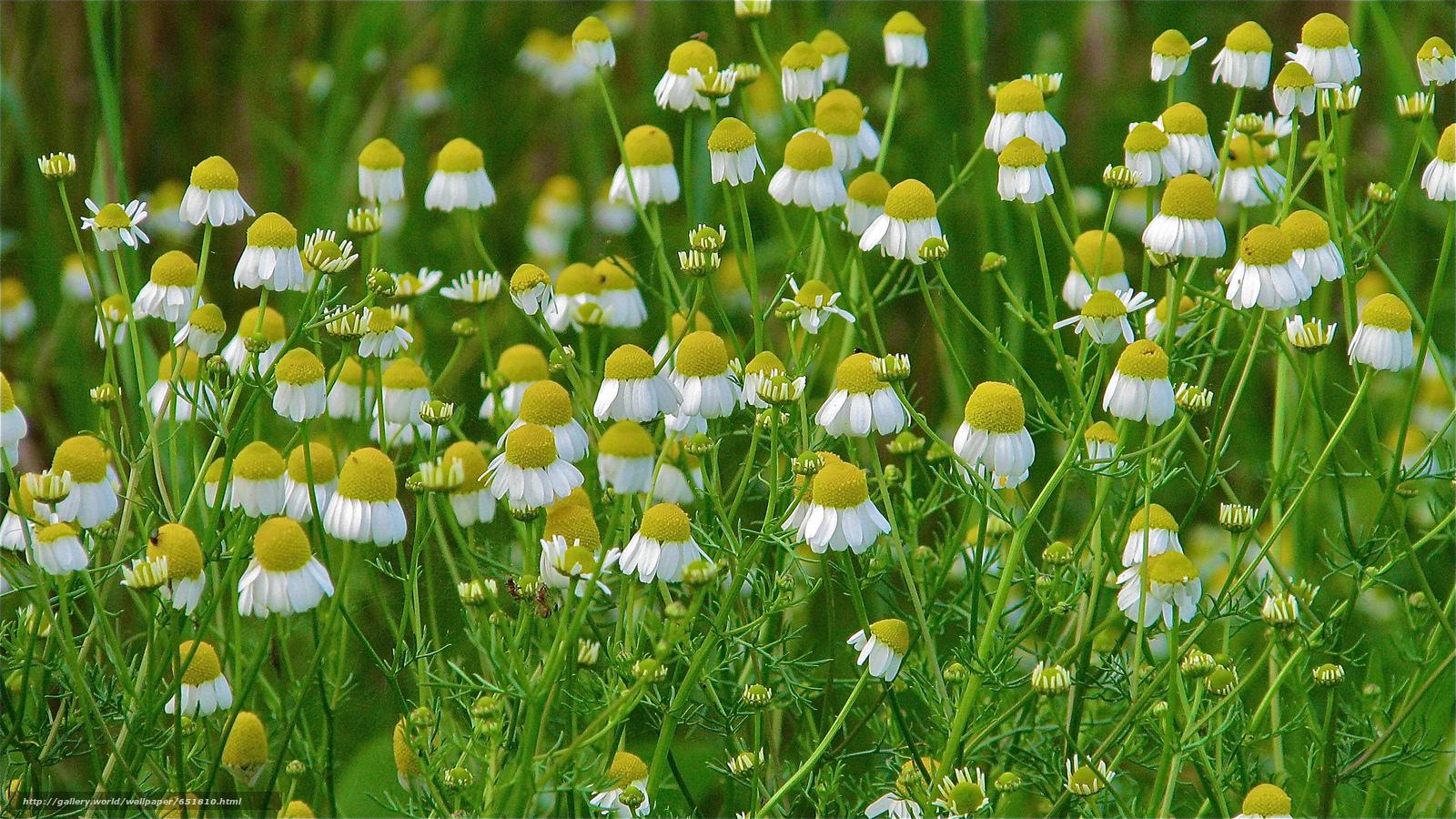 Скачать обои поле,  ромашки,  цветы,  флора бесплатно для рабочего стола в разрешении 2048x1152 — картинка №651810