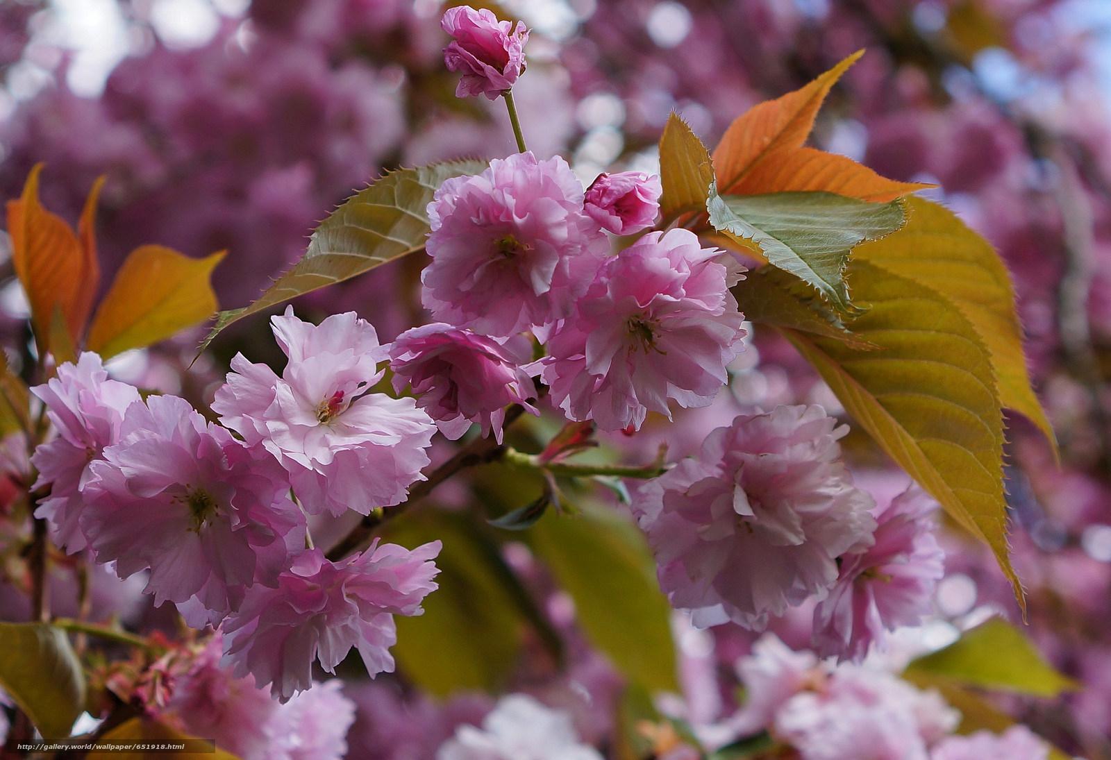 Скачать обои Cherry Blossoms,  ветка,  цветы,  флора бесплатно для рабочего стола в разрешении 2048x1402 — картинка №651918