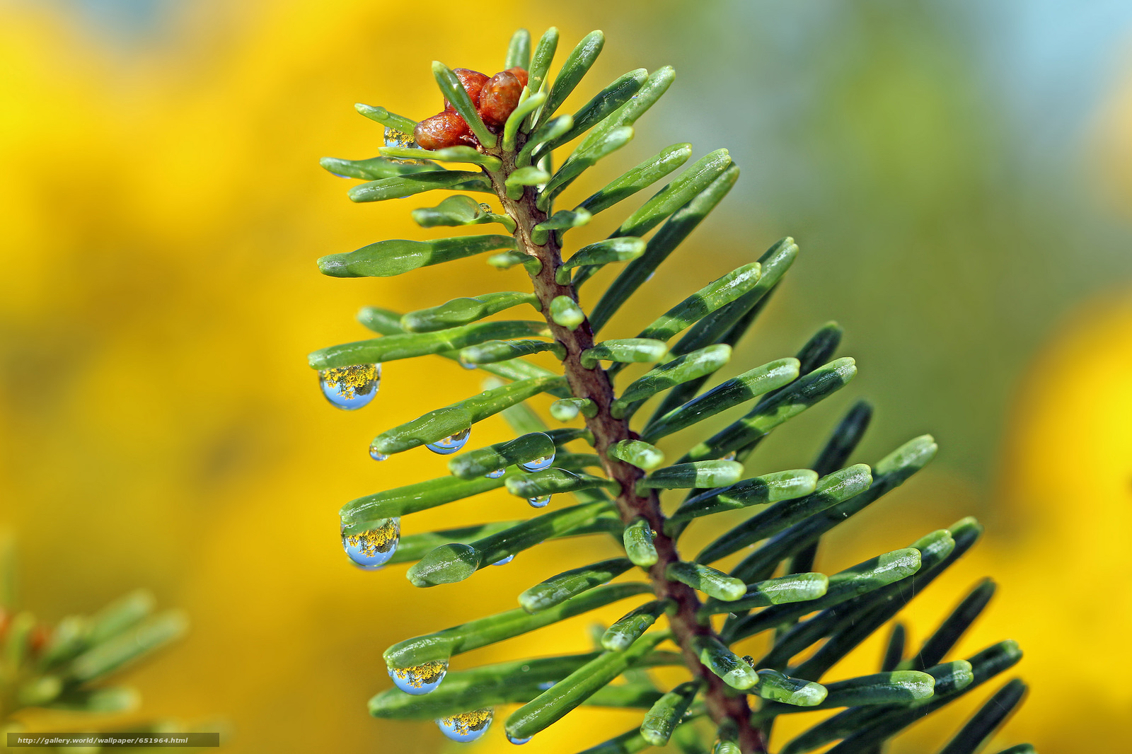 Download wallpaper Pine branches,  needles,  drops,  Macro free desktop wallpaper in the resolution 2048x1365 — picture №651964