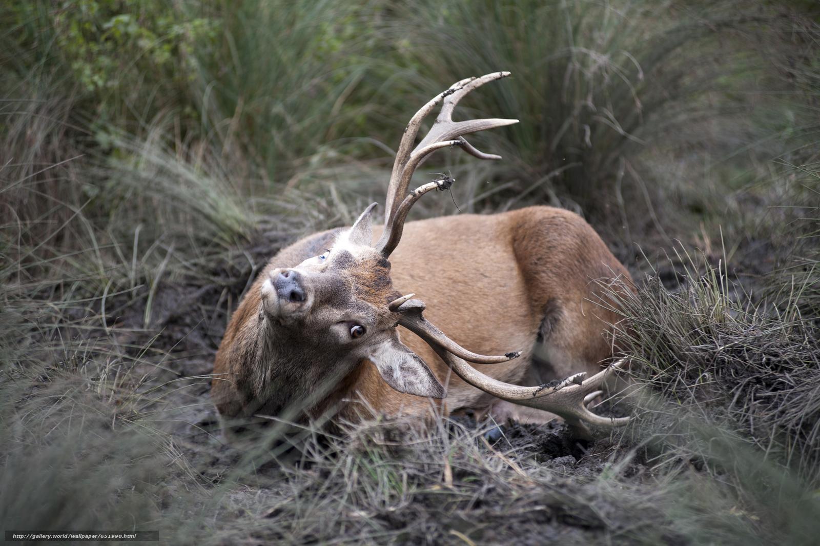 Скачать обои олень,  олени,  животные,  парнокопытные бесплатно для рабочего стола в разрешении 2048x1363 — картинка №651990