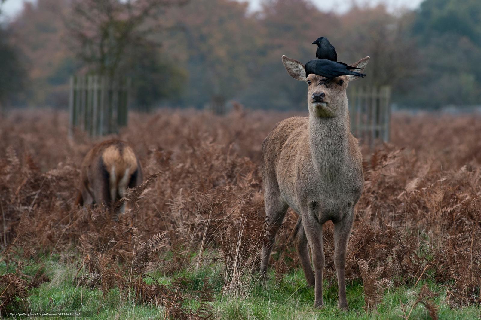 Скачать обои олень,  олени,  животные,  парнокопытные бесплатно для рабочего стола в разрешении 2048x1363 — картинка №652049