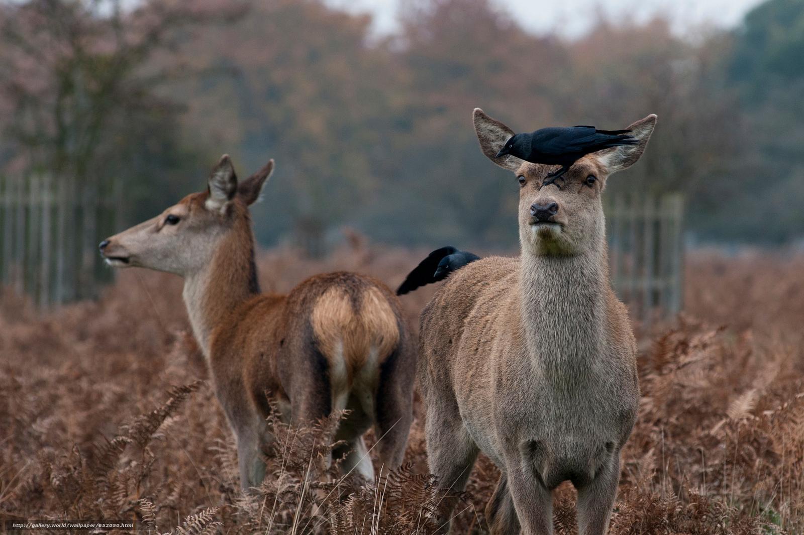 Скачать обои олень,  олени,  животные,  парнокопытные бесплатно для рабочего стола в разрешении 2048x1363 — картинка №652050