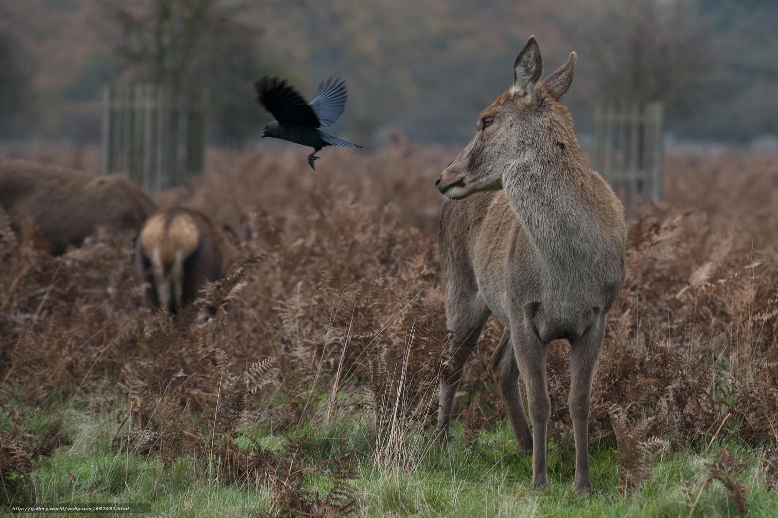 Скачать обои олень,  олени,  животные,  парнокопытные бесплатно для рабочего стола в разрешении 2048x1364 — картинка №652051