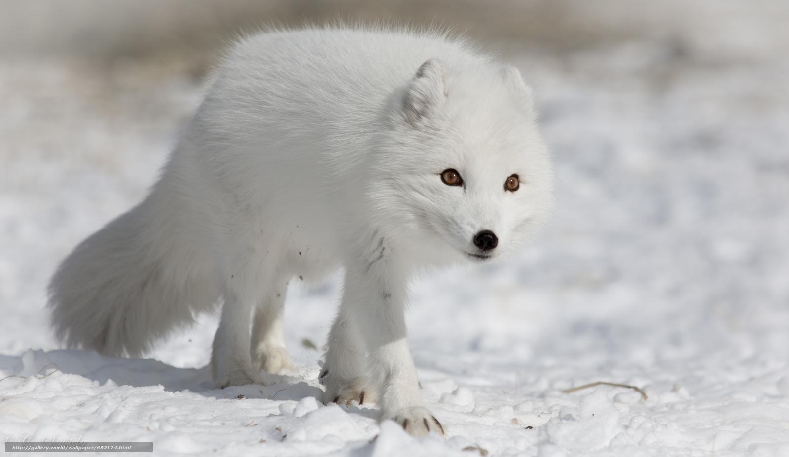 Tlcharger Fond D Ecran Le Renard Arctique Blanc Renards