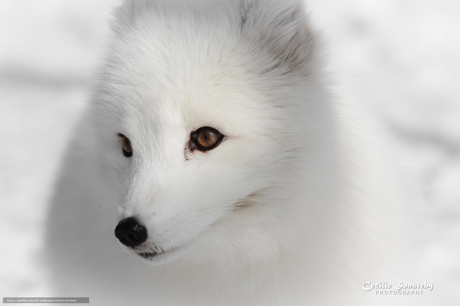 Scaricare Gli Sfondi Volpe Artica Bianco Volpi Volpe Polare
