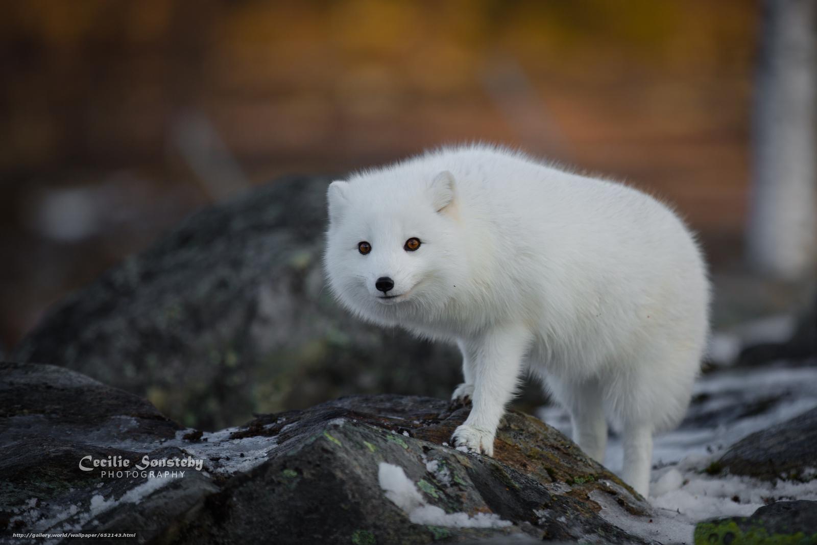 下载壁纸 白狐, 白, 狐狸, 北极狐 免费为您的桌面分辨率的壁纸 4386x