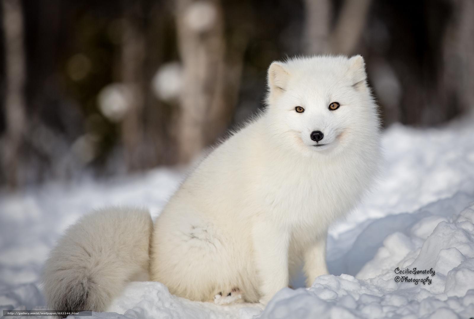 下载壁纸 白狐 白 狐狸 北极狐 免费为您的桌面分辨率的壁纸 4403x2961 图片 №652146