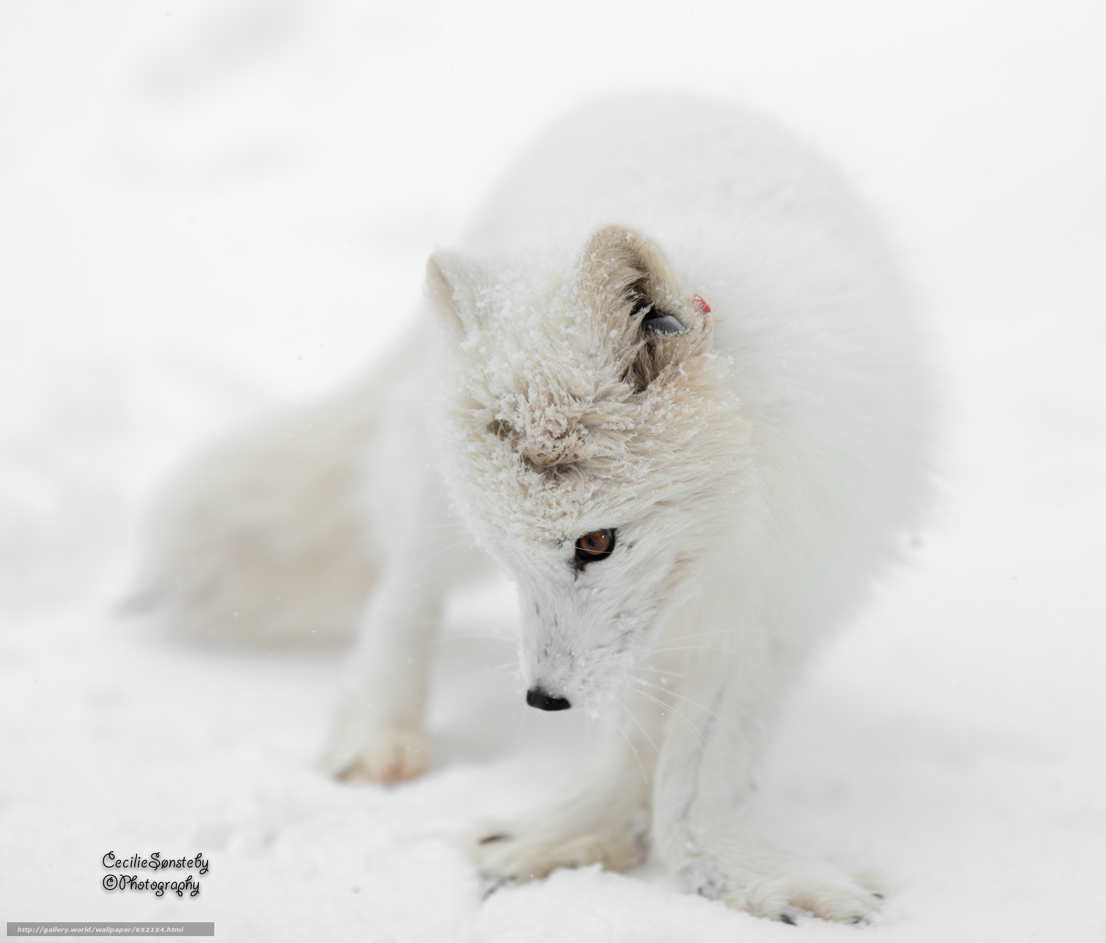 Download wallpaper arctic fox,  white,  foxes,  polar fox free desktop wallpaper in the resolution 4250x3624 — picture №652154