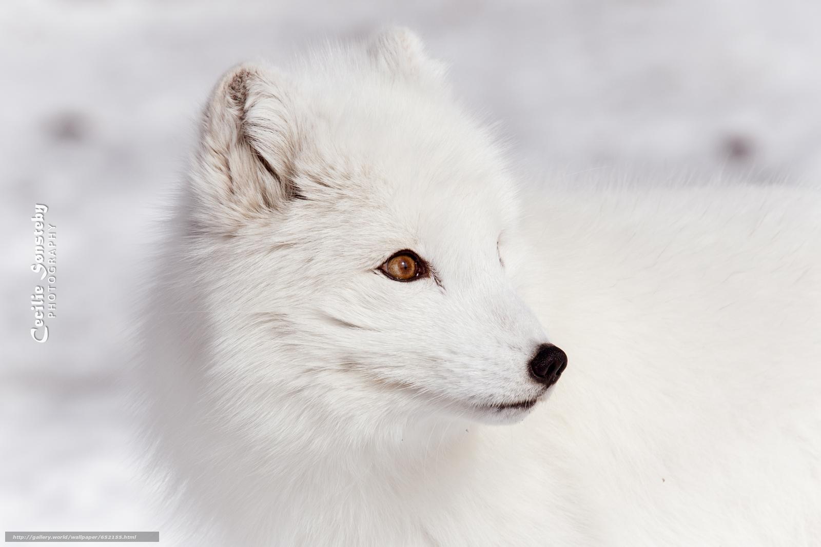 Download wallpaper arctic fox,  white,  foxes,  polar fox free desktop wallpaper in the resolution 3009x2006 — picture №652155