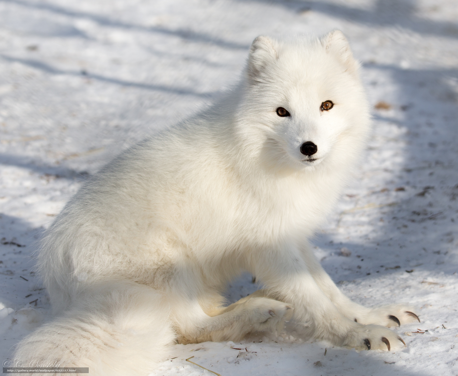 Download wallpaper arctic fox,  white,  foxes,  polar fox free desktop wallpaper in the resolution 3655x2998 — picture №652157