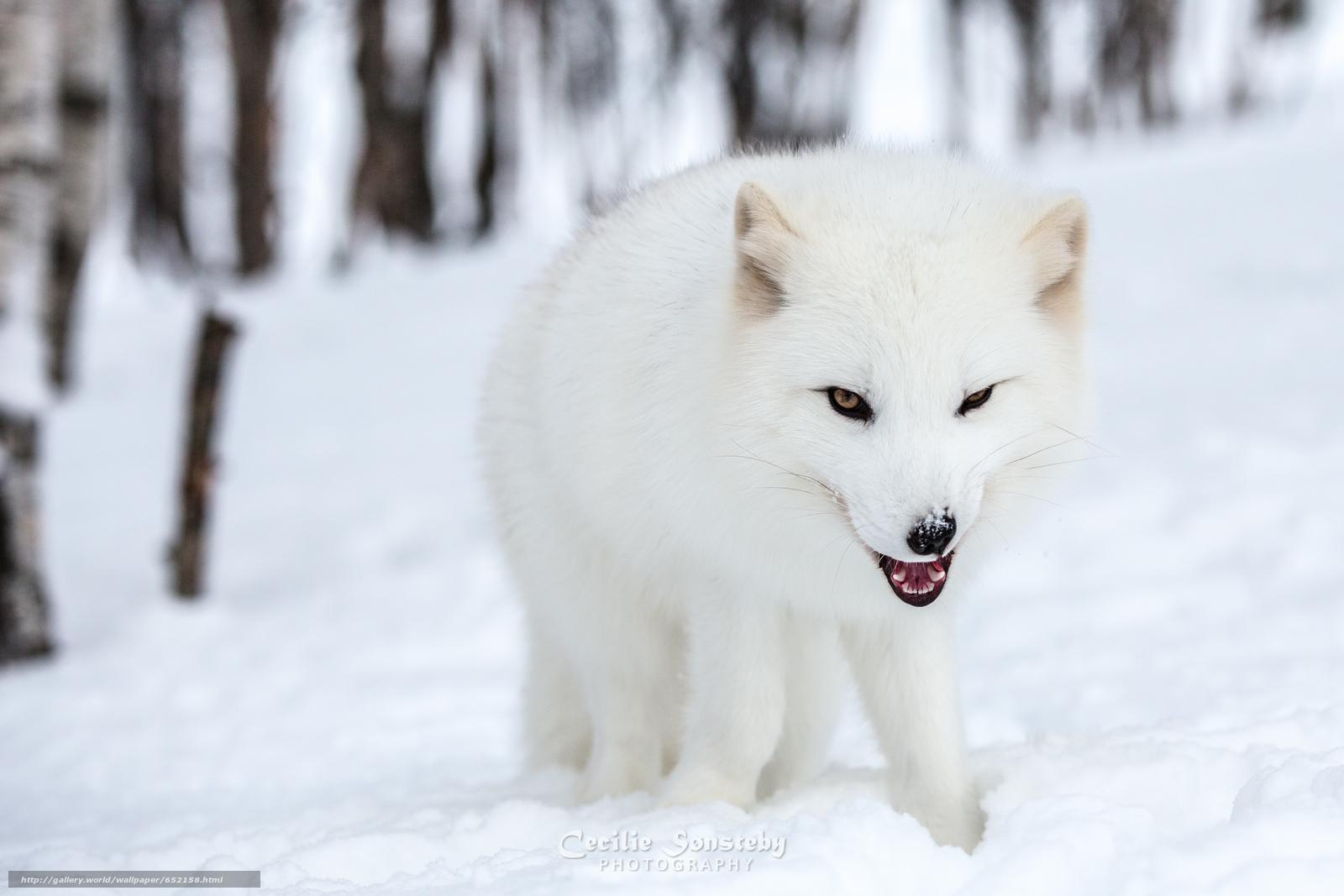 Download wallpaper arctic fox,  white,  foxes,  polar fox free desktop wallpaper in the resolution 4117x2745 — picture №652158
