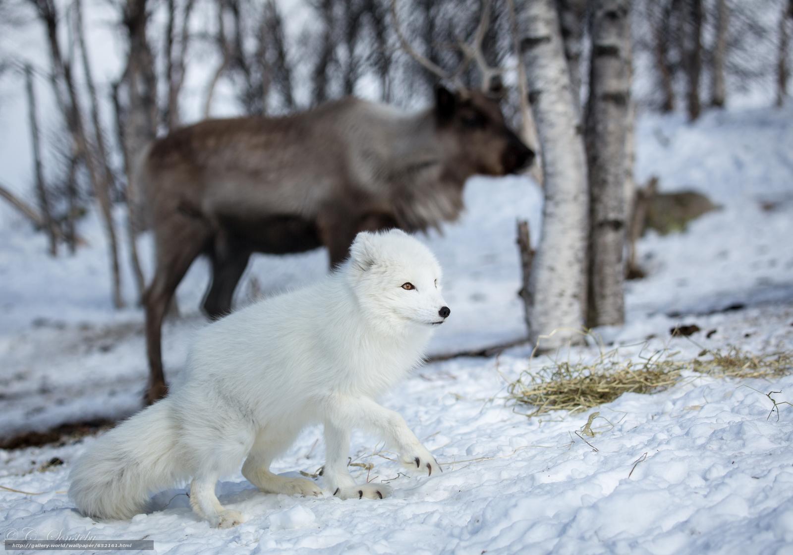 Download wallpaper arctic fox,  white,  foxes,  polar fox free desktop wallpaper in the resolution 4976x3484 — picture №652161