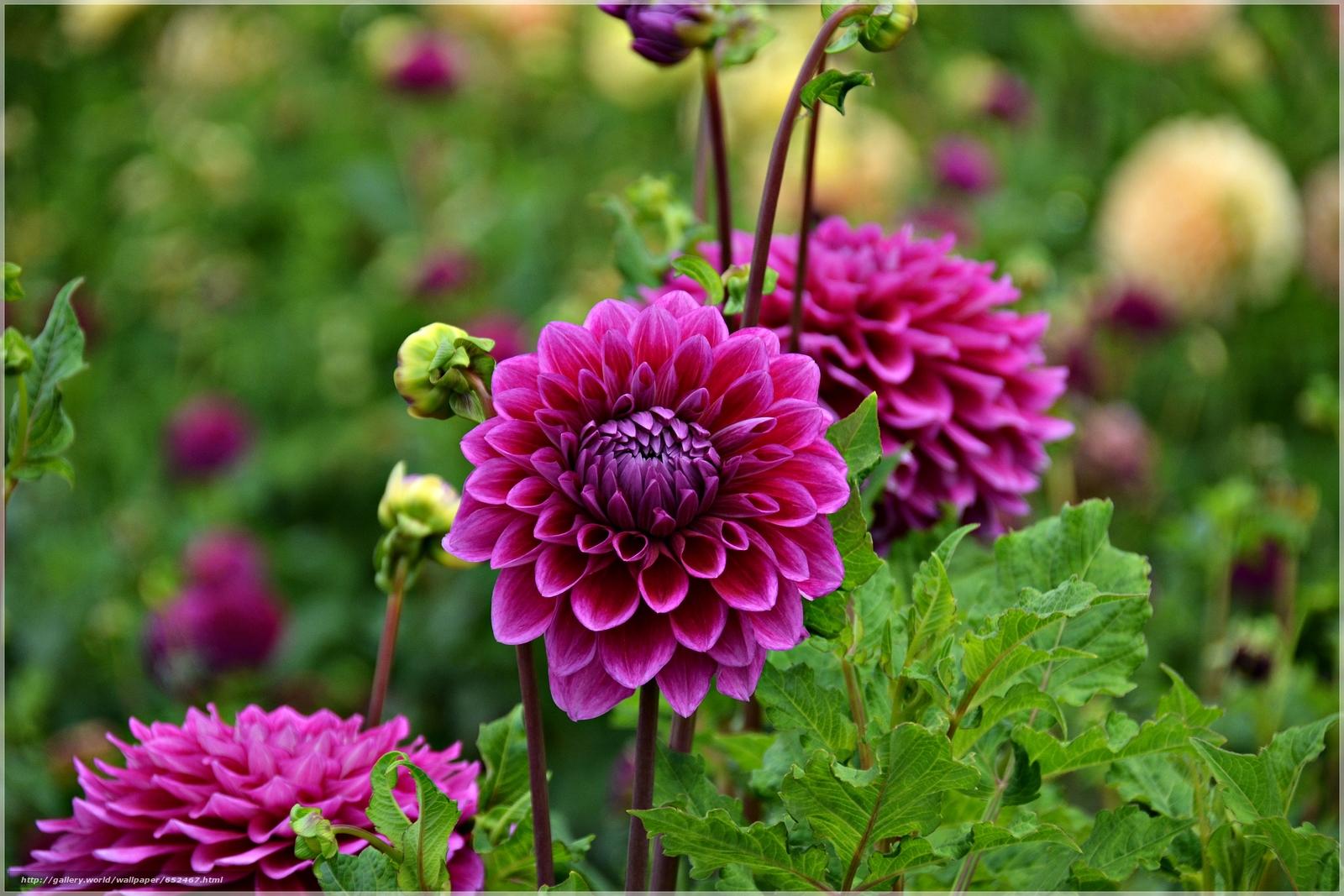 Скачать обои георгин,  цветок,  флора бесплатно для рабочего стола в разрешении 4890x3260 — картинка №652467
