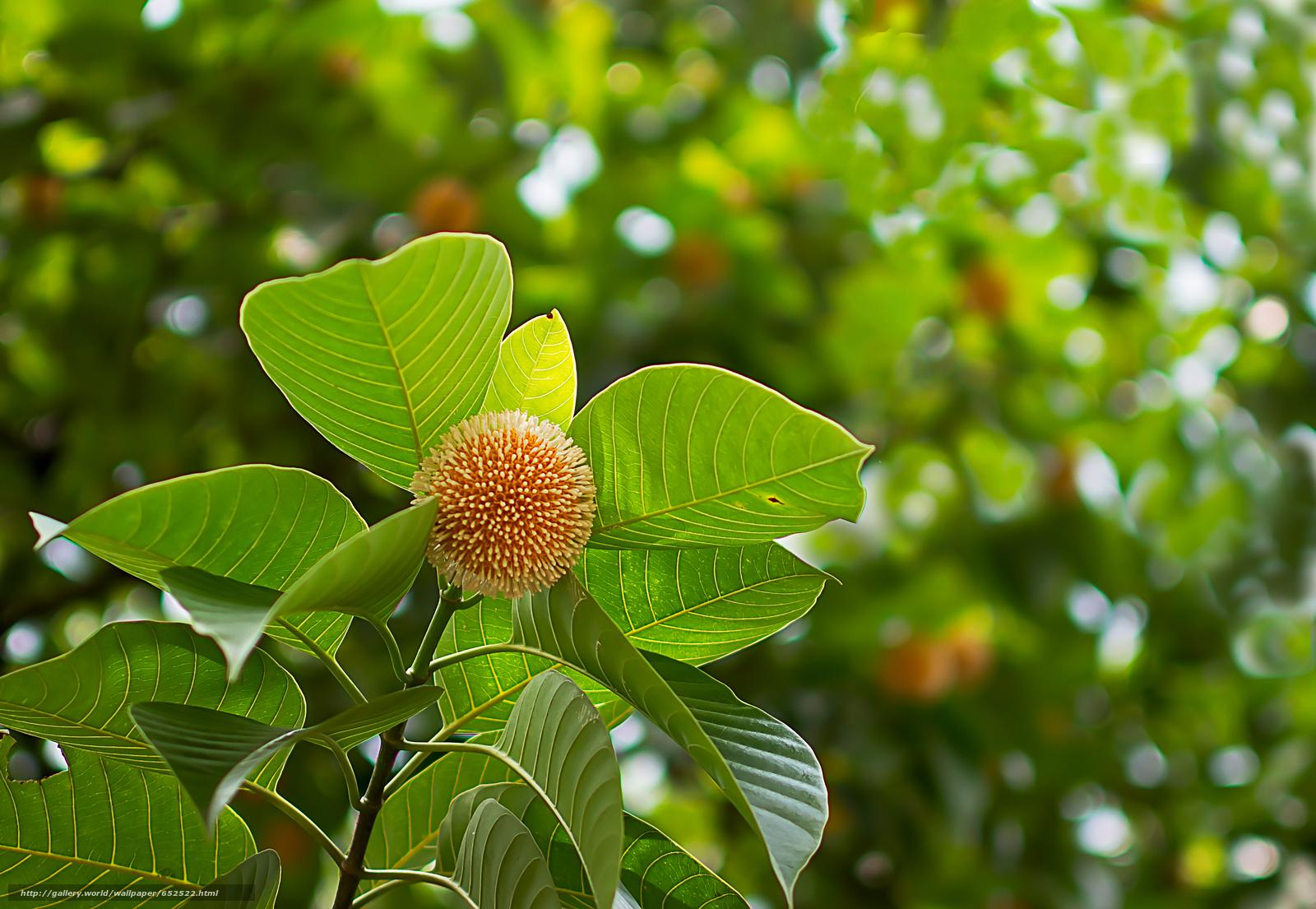 Скачать обои Neolamarckia Cadamba,  растение,  ветки,  листья бесплатно для рабочего стола в разрешении 2896x2000 — картинка №652522