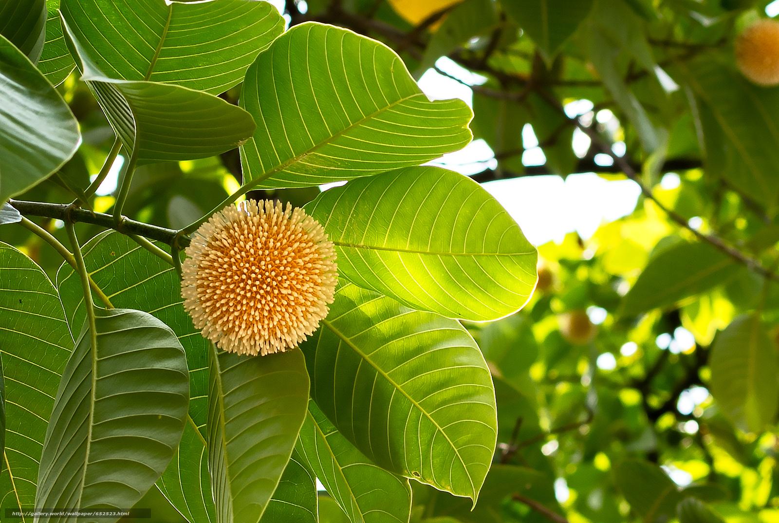 Скачать обои Neolamarckia Cadamba,  растение,  ветки,  листья бесплатно для рабочего стола в разрешении 1709x1147 — картинка №652523