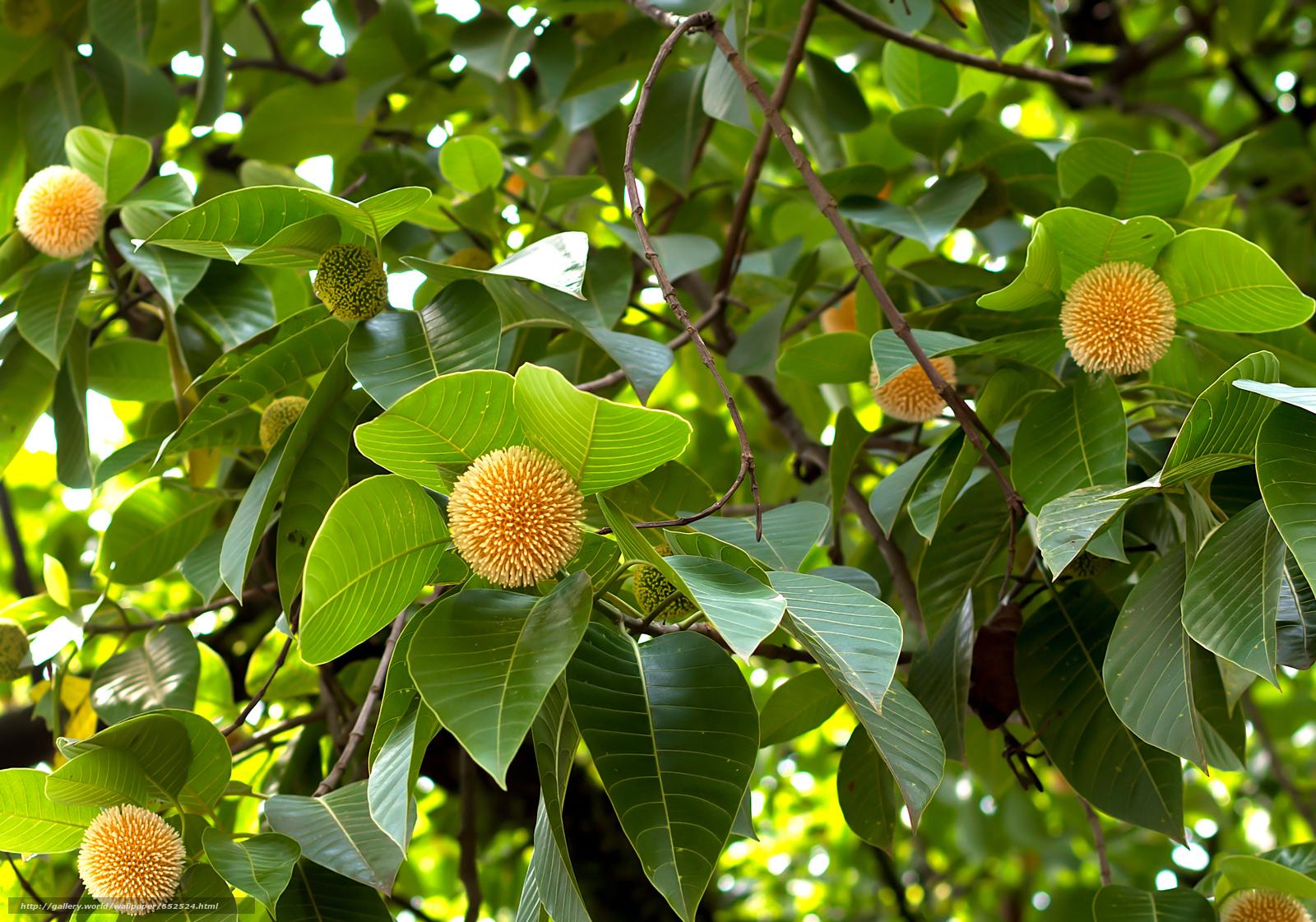 Скачать обои Neolamarckia Cadamba,  растение,  ветки,  листья бесплатно для рабочего стола в разрешении 2832x1984 — картинка №652524