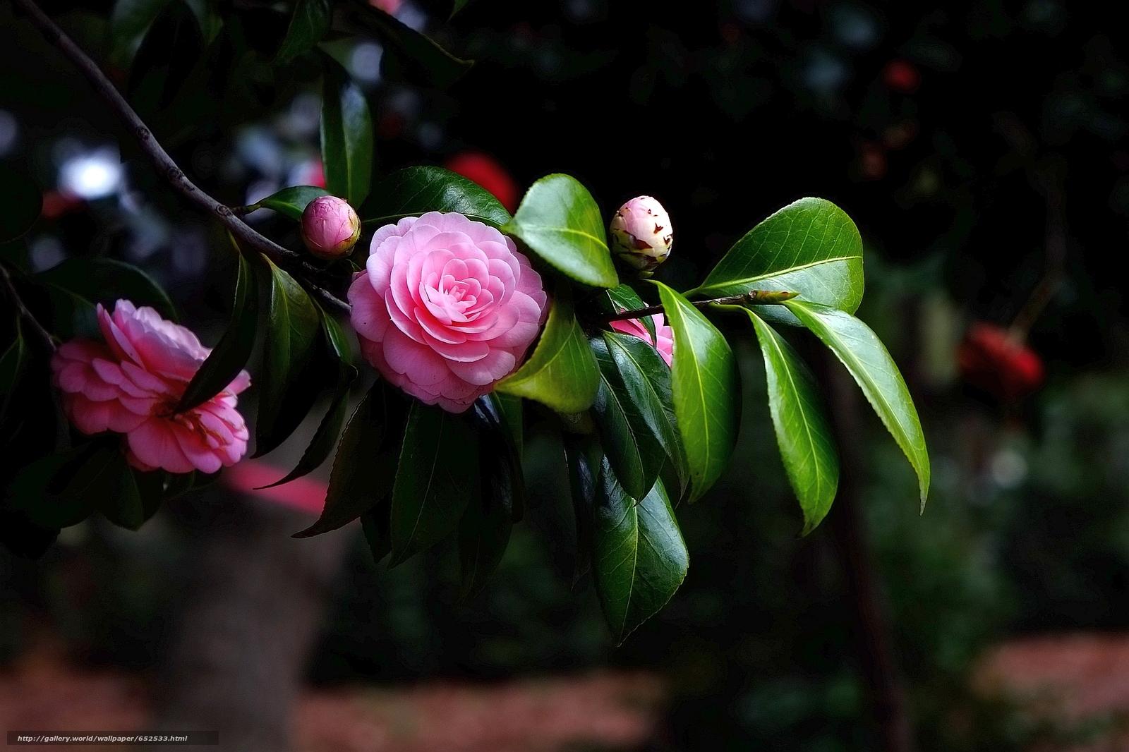 scaricare gli sfondi camelia,  fiore,  flora Sfondi gratis per la risoluzione del desktop 1920x1279 — immagine №652533