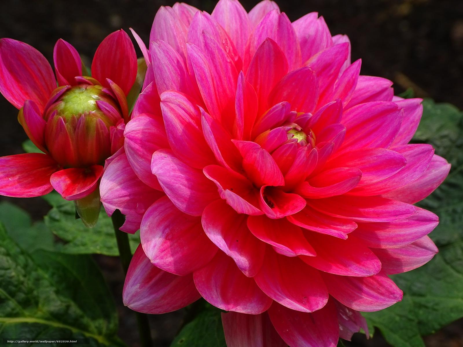 Скачать обои Dahlia,  георгин,  цветок,  флора бесплатно для рабочего стола в разрешении 5184x3888 — картинка №652539
