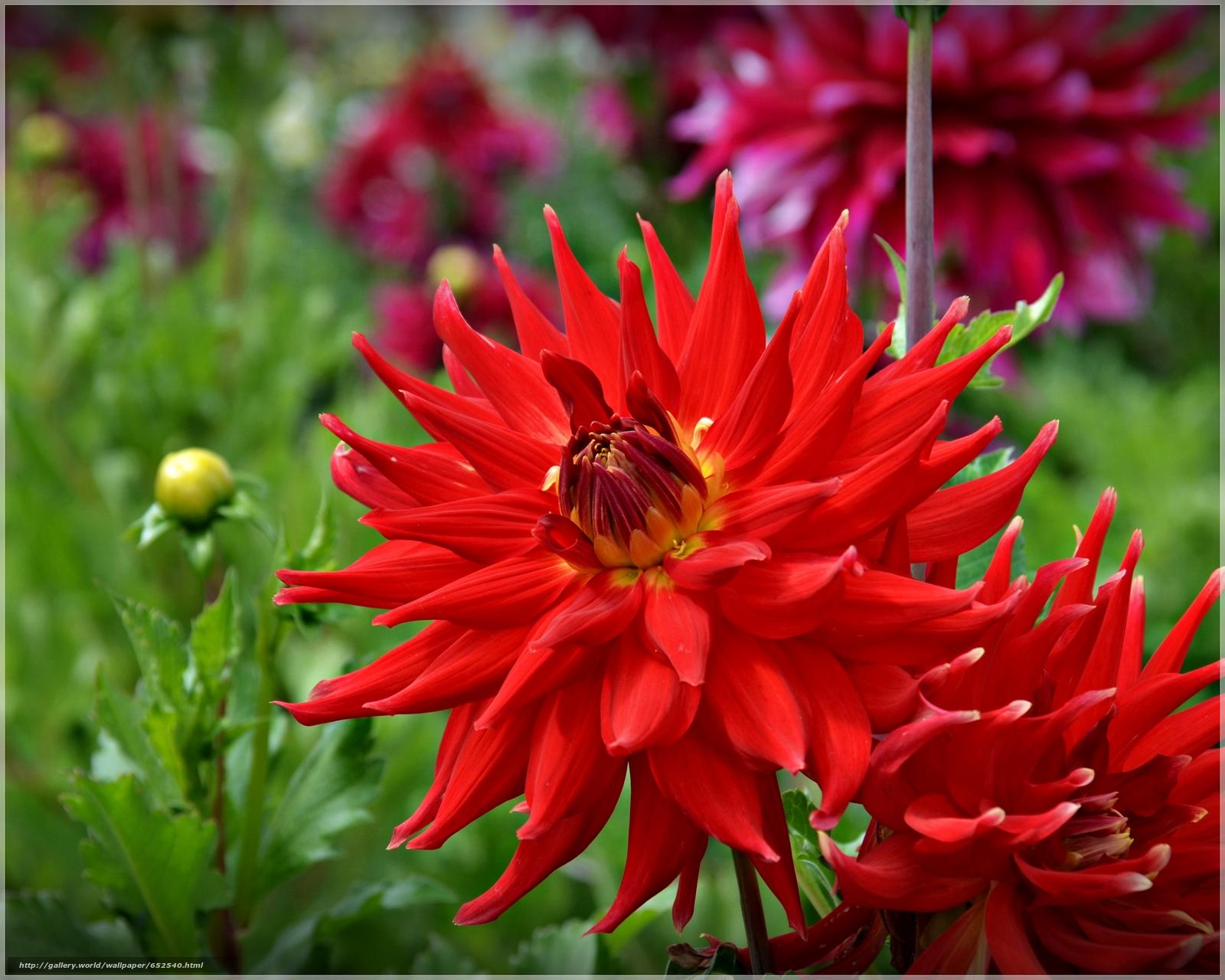 Скачать обои Dahlia,  георгин,  цветок,  флора бесплатно для рабочего стола в разрешении 4080x3264 — картинка №652540