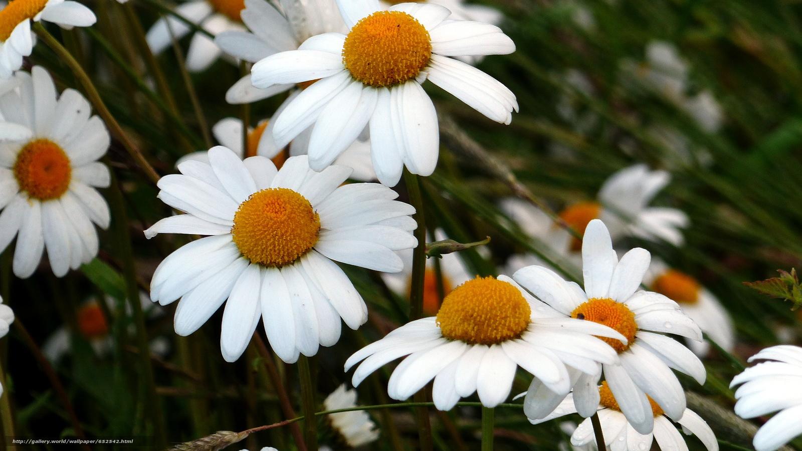 Скачать обои поле,  ромашки,  цветы,  флора бесплатно для рабочего стола в разрешении 2048x1152 — картинка №652542