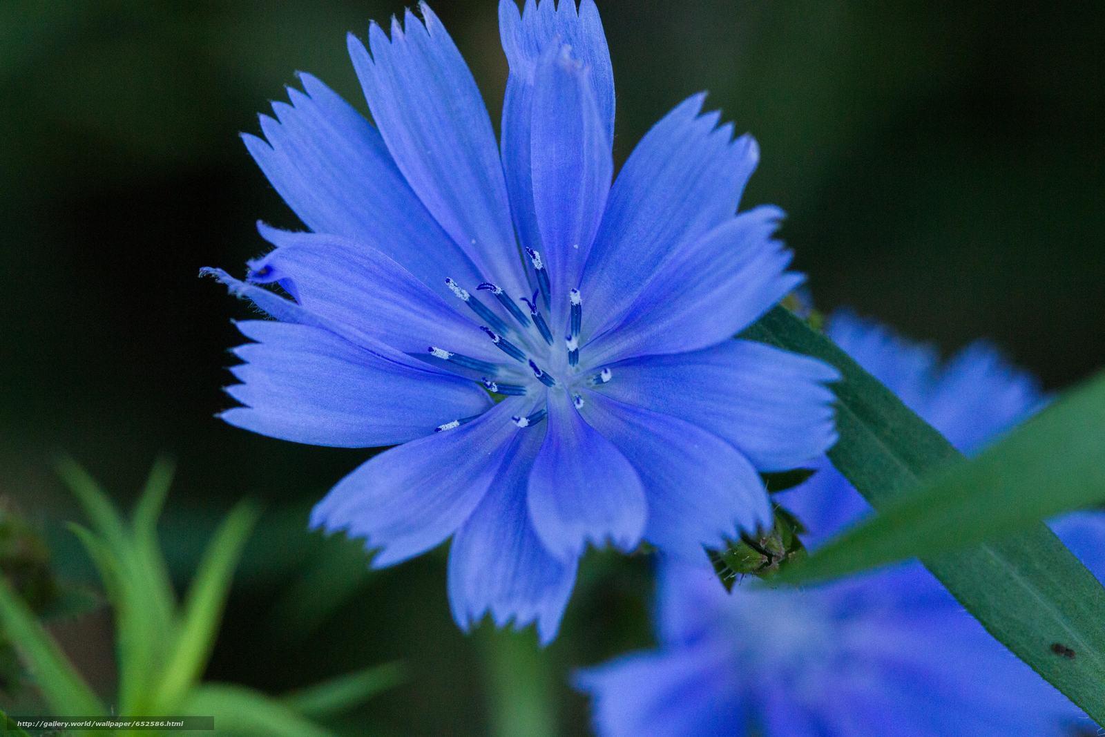 Descargar gratis acianos,  Flores,  Macro,  flora Fondos de escritorio en la resolucin 5184x3456 — imagen №652586
