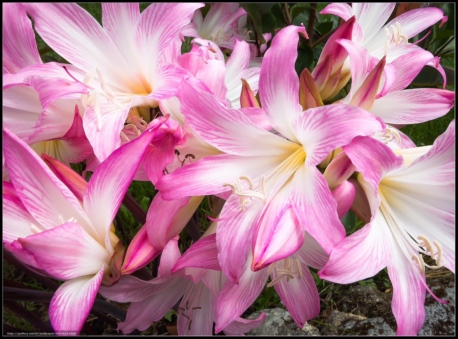 Скачать обои АМАРИЛЛИС-БЕЛЛАДОНА,  цветы,  флора бесплатно для рабочего стола в разрешении 1982x1470 — картинка №652615