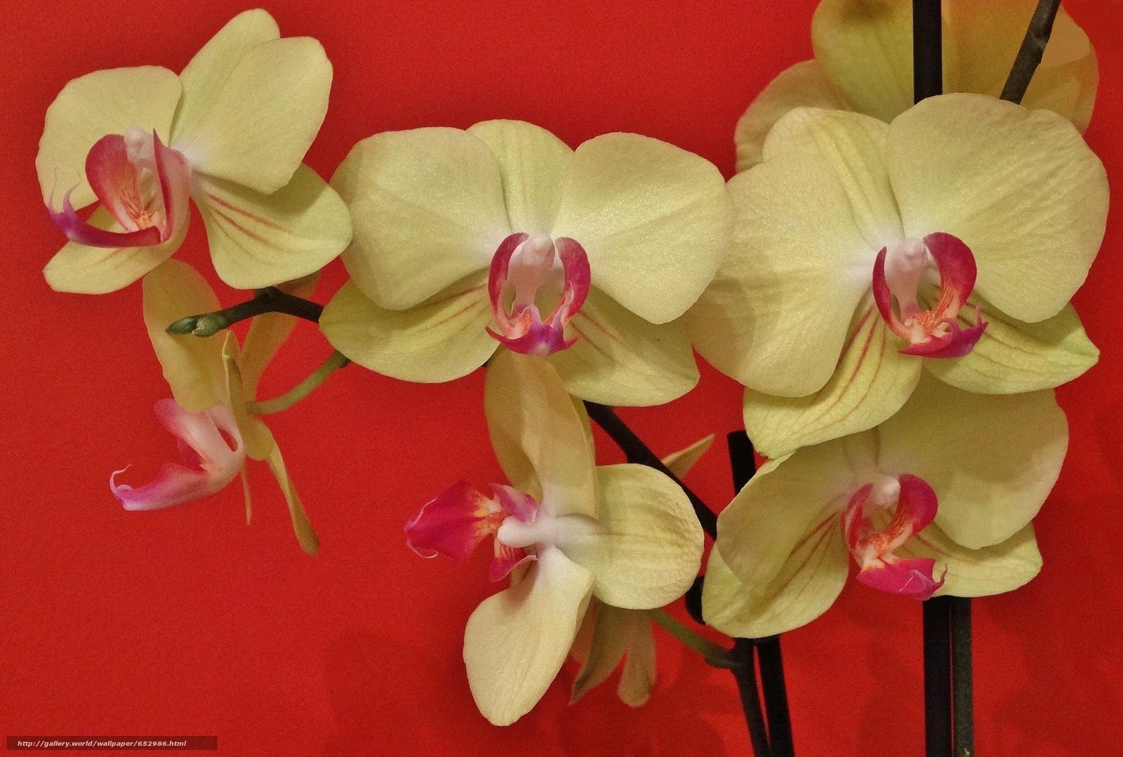 Скачать обои Фаленопсис,  орхидея,  экзотика бесплатно для рабочего стола в разрешении 3622x2443 — картинка №652986