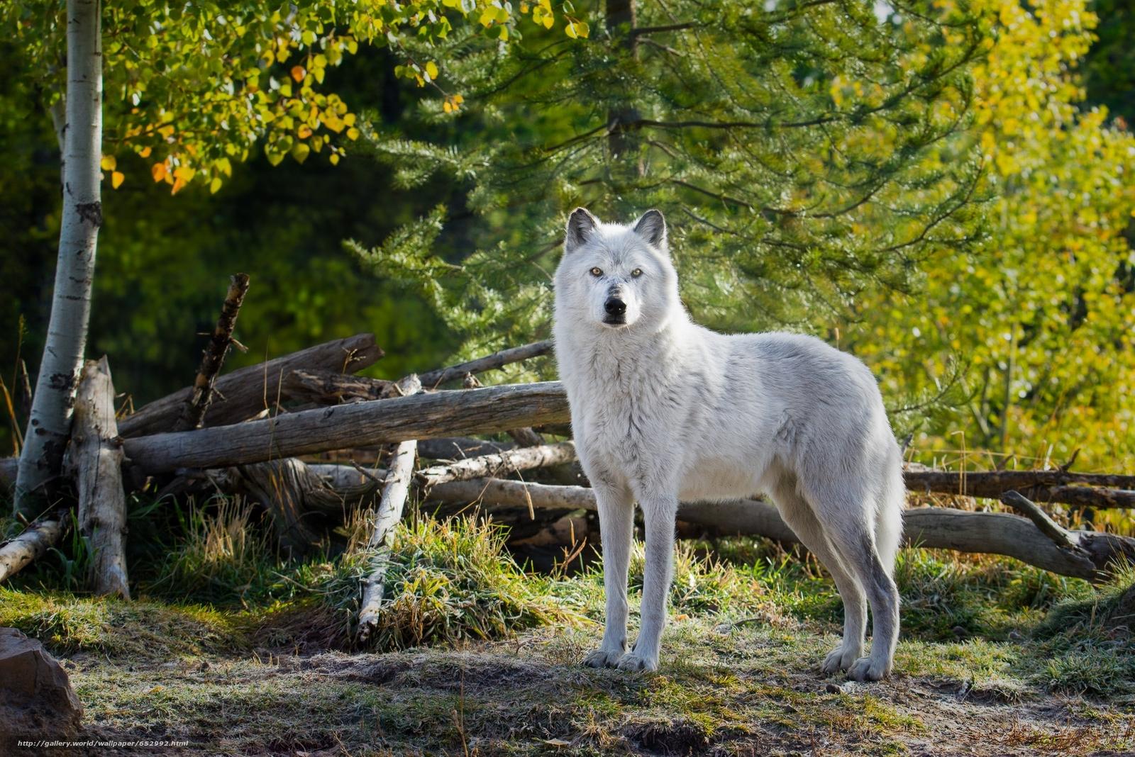 scaricare gli sfondi lupo,  predatore,  foresta Sfondi gratis per la risoluzione del desktop 2048x1367 — immagine №652992