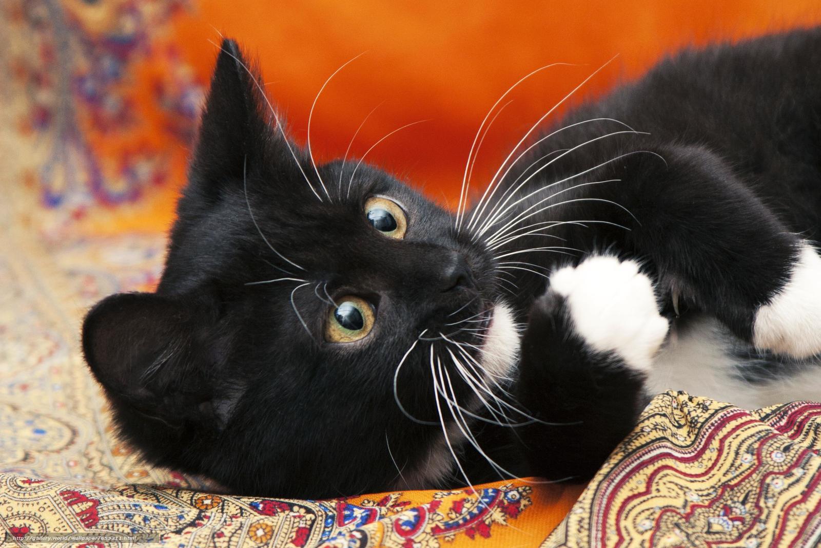Download wallpaper COTE,  kitten,  black-white,  cat free desktop wallpaper in the resolution 2848x1899 — picture №653311