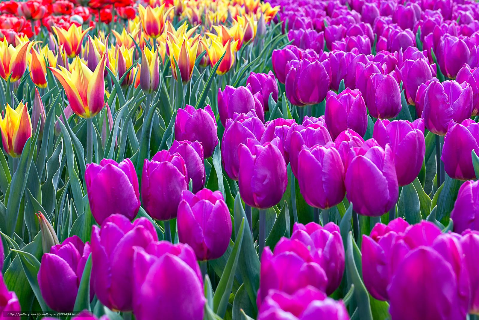 Скачать обои тюльпаны,  цветы,  цветок,  макро бесплатно для рабочего стола в разрешении 4567x3045 — картинка №653439