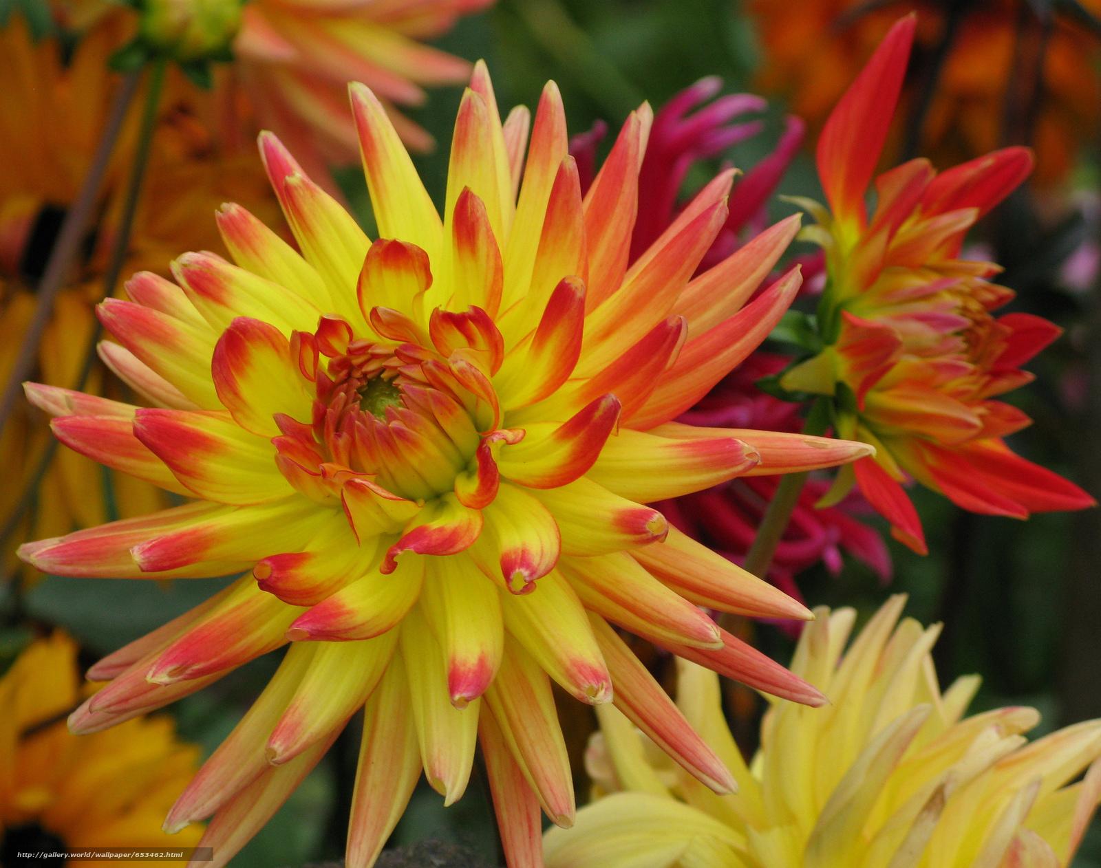 Скачать обои георгин,  цветы,  цветок,  макро бесплатно для рабочего стола в разрешении 2048x1615 — картинка №653462