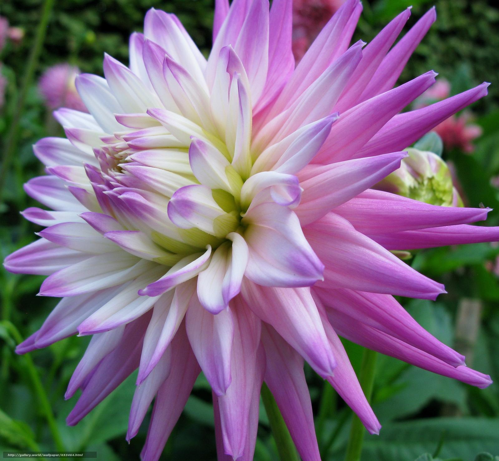 Скачать обои георгин,  цветы,  цветок,  макро бесплатно для рабочего стола в разрешении 2048x1893 — картинка №653464
