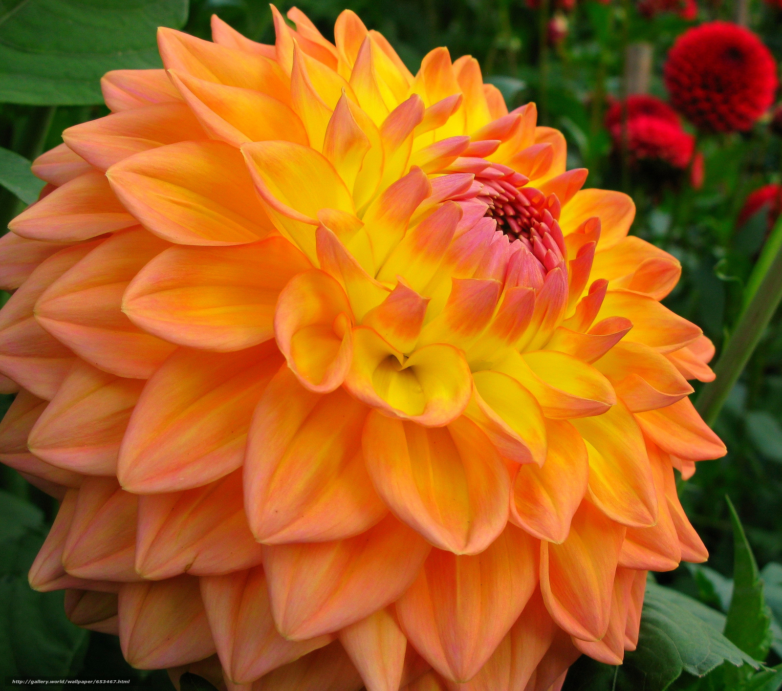 Скачать обои георгин,  цветы,  цветок,  макро бесплатно для рабочего стола в разрешении 2048x1810 — картинка №653467
