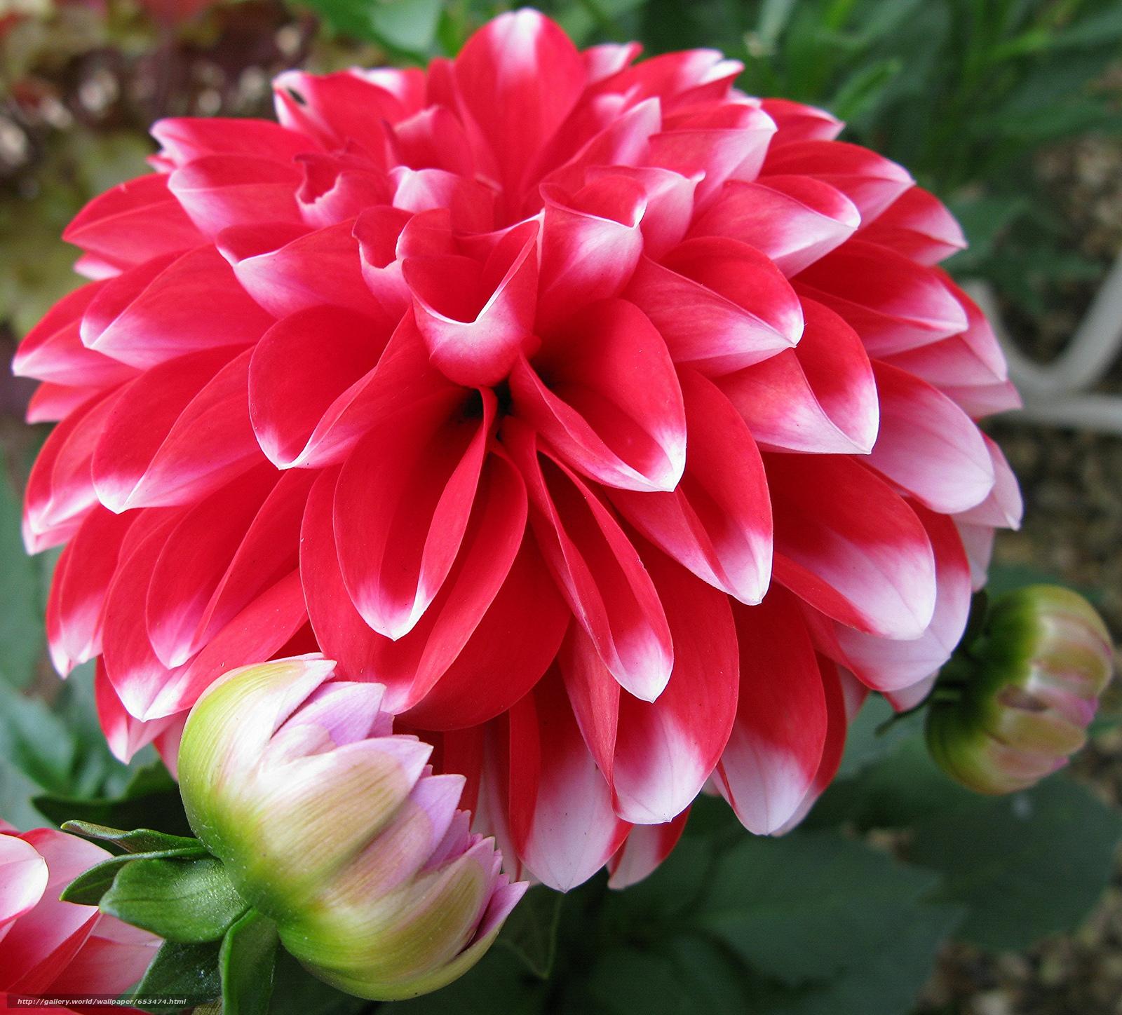 Скачать обои георгин,  цветы,  цветок,  макро бесплатно для рабочего стола в разрешении 2048x1854 — картинка №653474