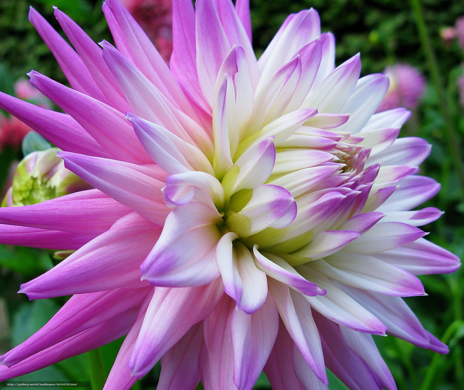 Скачать обои георгин,  цветы,  цветок,  макро бесплатно для рабочего стола в разрешении 2048x1721 — картинка №653475