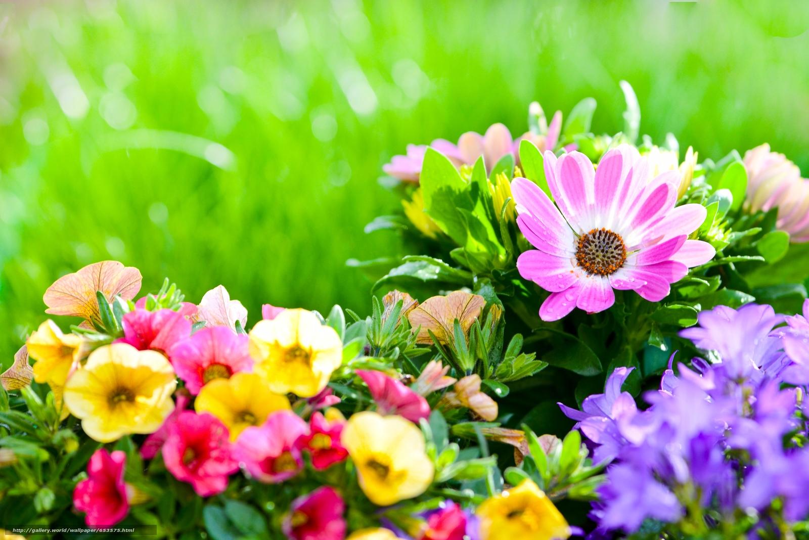 Descargar gratis petunias,  Campanas,  doroteantus margaritkovidny,  arriate Fondos de escritorio en la resolucin 5051x3371 — imagen №653575