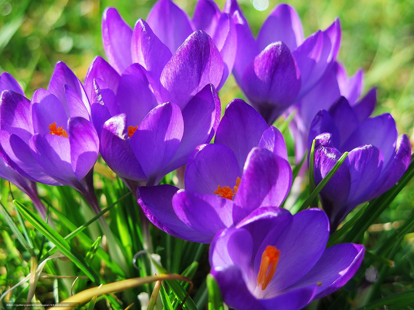 Descargar gratis Azafranes,  Flores,  flor,  Macro Fondos de escritorio en la resolucin 2048x1536 — imagen №653830